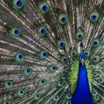 Peacock with full feathers
